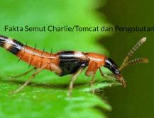Fakta Semut Charlie dan Pengobatannya